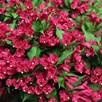 Weigela ALL SUMMER® RED Noble® (PBR)