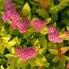 Spiraea japonica Plant - Magic Carpet