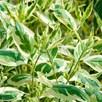Cornus alba Plant - Ivory Halo®