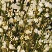 Cytisus praecox Plant - Albus