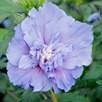 Hibiscus Syr. Blue Chiffon Noble