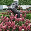 Hydrangea Pan. Pinky Winky Noble