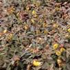 Hypericum moserianum Plant - Tricolor