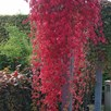 Parthenocissus quinquefolia Plant