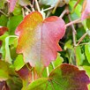 Parthenocissus tricuspidata Plant – Veitchii 3 Litre Pot x 1