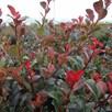 Photinia (Standard) Little Red Robin 3 Litre Pot x 1