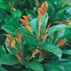 Prunus Laur.  Etna