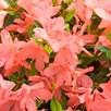 Rhododendron (AJ) Plant - Blaauws Pink