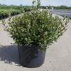 Rhododendron (AJ) Plant - Geisha Orange