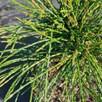 Thuja Plicata Whipcord
