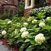 Hydrangea Endless Summer The Bride