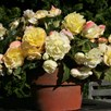 Begonia  Scented  Twin Pack (10)  - Pink(5)Yellow(5)