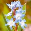 Chionodoxa Bulbs - Blue Giant
