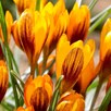 Crocus Jumbo Bulbs - Orange Monarch(20)