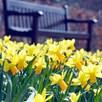 Daffodil Bulbs - Jetfire