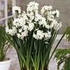 Narcissus papyraceus Bulbs