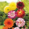 Dahlia Tubers - Dinner Plate Mix