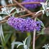 Buddleja davidii Plant - Nanho Blue