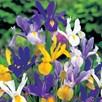 Iris Bulbs - hollandica Mix