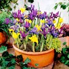 Iris Bulbs - Miniature Mix