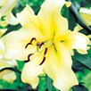 Lily Tree Honeymoon
