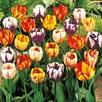 Tulip Bulbs - Rembrandt Mix