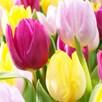 Tulip Bulbs - Prince Mix (Early Single)