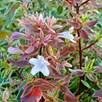 Abelia grandiflora 'Sparkling Silver'