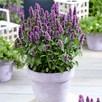 Agastache Beelicious Purple 2Ltr