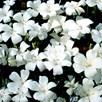 Agrostemma Seeds - Snow Queen