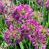 Allium Plants - Lavender Bubbles