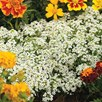 Alyssum Seeds - Snow Carpet (Improved Strain)