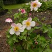 Anemone Dainty Swan