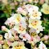 Antirrhinum Seeds - F1 Antiquity Sunset Mix