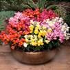 Antirrhinum Plants - Appeal Mixed