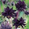 Aquilegia Plants - Black Barlow