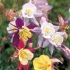 Aquilegia Seeds - Pretty Bonnets Mix