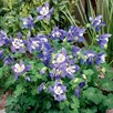 Aquilegia Plants - Spring Magic Blue and White