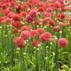 Armeria Plant - Ballerina Red