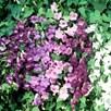 Asarina Seeds - Formula Mix