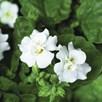 Bacopa Plants - White