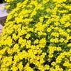 Bacopa (Mecardonia) Yellow (6)