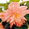 Begonia Belleconia Soft Orange (6)