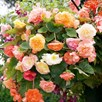 Begonia (Tuberous) Seeds - Parisienne Trailing Mix