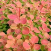 Berberis Orange Sunrise