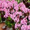 Bergenia Plants - Spring Fling