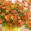 Bidens Plants - Beedance Orange Splash