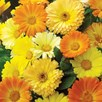 Calendula Seeds - Daisy Mix