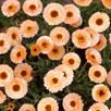 Calendula Seeds - Pink Surprise