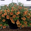 Calibrachoa Plants - Double Orange Red Eye